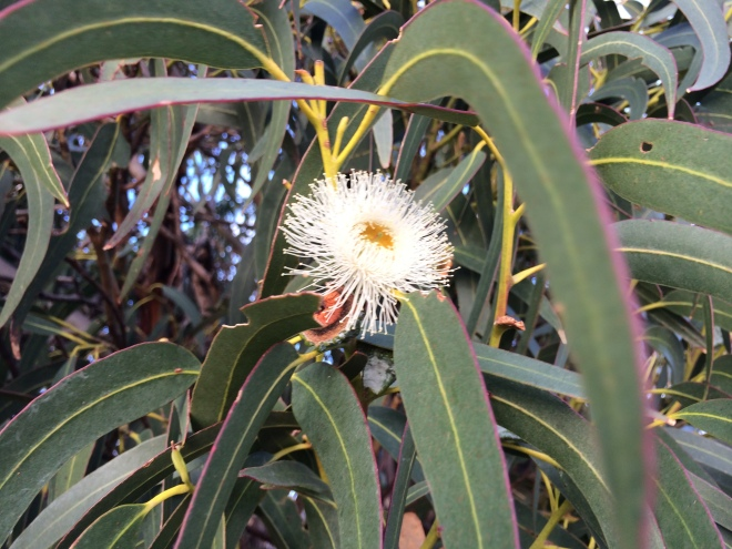 Blue gum blossom Aug 21 2014