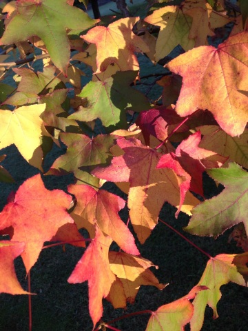 The different hues and colours of autumn leaves are a wonder of nature, especially when they are dancing in the wind.