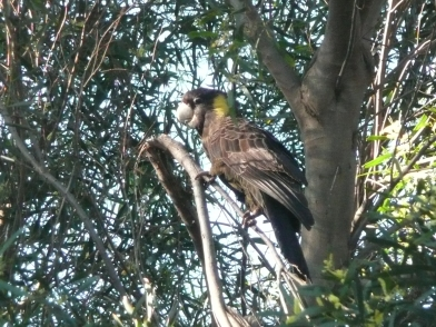 Listen to the voices of living things. Not only does this Yellow-tailed black cockatoo have a wonderful raucous call, you can hear it gnawing away at woody branches and fruits searching for a tasty morsel. Tasmania, Australia.