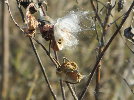 I can understand Goethe's fascination with plants. I can't stop taking photos of them, in all of their forms. Recently this Milkweed pod caught my eye in Botswana.